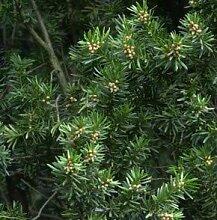 Gedrehte Zwerg Eibe Cristata 20-25cm - Taxus