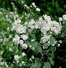 Gefüllter Gartenjasmin 125-150cm - Philadelphus