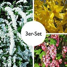 Gehölz-Set Frühlingsblüher Klassiker, mit 3 Pflanzen, je im 4,6 l Topf