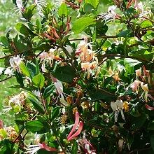 Kletterpflanzen Winterhart kletterpflanzen winterhart immergrün günstig kaufen lionshome