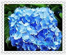 Gelb: 100 blaue Hortensien Blumensamen Bonsai Baum