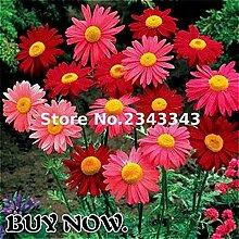 Gelb: 100 Teile/beutel Gerbera Daisy Seeds New