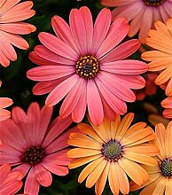 Gelb: 20 Sonnenblumensamen Mini Regenbogen