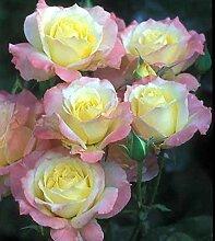Gelb: Ga 100 Rainbow Rose Seeds Wunderschöne