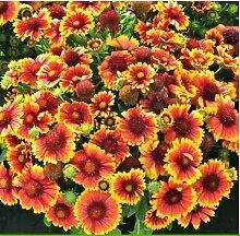 Gelb Gänseblümchen Samen,Bodendecker Blumensamen