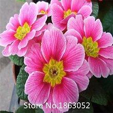 Gelb: Garten 200 Samen/Pack, Primula Samen