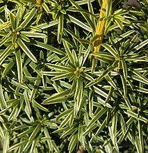 Gelbe Adlerschwingen Eibe 50-60cm - Taxus baccata