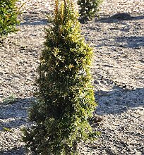 Gelbe Eibe 50-60cm - Taxus baccata Aurea