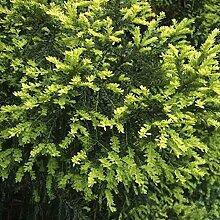 Gelbe Eibe 80-100cm - Taxus baccata Aurea