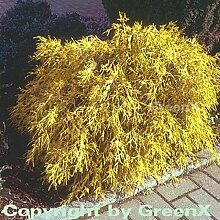 Gelbe Fadenzypresse 25-30cm - Chamaecyparis