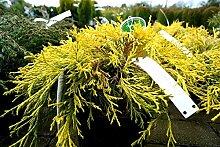 Gelbe Fadenzypresse Chamaecyparis pisifera