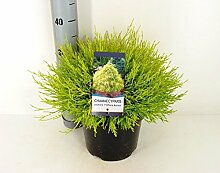 Gelbe Fadenzypresse - Chamaecyparis pisifera