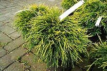 Gelbe Fadenzypresse Sungold Chamaecyparis pisifera
