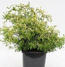 Gelbe Hinoki Scheinzypresse Tsatsumi Gold 25-30cm