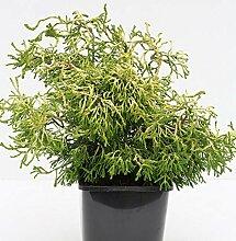 Gelbe Hinoki Scheinzypresse Tsatsumi Gold 40-50cm