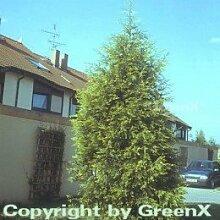 Gelbe Leyland Zypresse Castlewellan Gold 60-80cm - Cupressocyparis leylandii