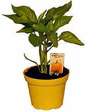 Gelbe Paprika Pflanze, Paprikapflanzen aus