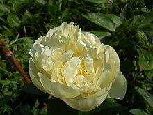 gelbe Pfingstrose im 2l Topf: Quitzin Paeonie