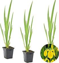 Gelbe Schwertlilie   Iris 'Pseudacorus' 3x
