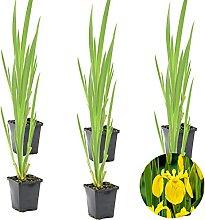 Gelbe Schwertlilie   Iris 'Pseudacorus' 6x