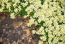 Gelber Lein 30 Samen- (Linum flavum Compactum)-