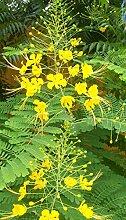gelber Pfauenstrauch - 20 Samen - Caesalpinia