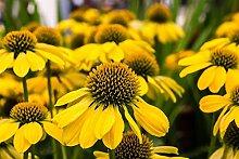 Gelber Sonnenhut, Bushs purpurroter coneflower -
