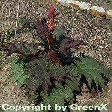 Gelber Zier Rhabarber - Rheum palmatum