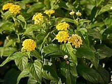 Gelbes Wandelröschen - Dekorative Kübelpflanze