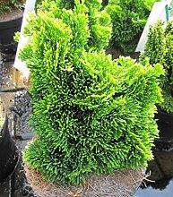 Gelbgrüne Muschelzypresse Aurora - Hinoki