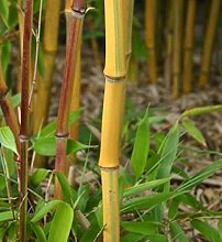 Gelbrinnen Bambus Spectabilis 100-125cm -
