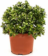 Geldbaum, ca. 55 cm, Balkonpflanze wenig Wasser,