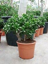 Geldbaum, ca. 70 cm, Balkonpflanze wenig Wasser, Terrassenpflanze sonnig, Kübelpflanze Südbalkon, Crassula gollum, im Topf