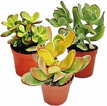 Geldbaum-Set, 3 verschiedene Crassula-Arten im