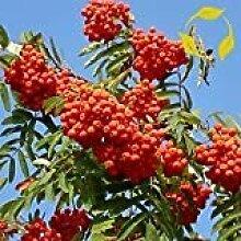 Gemeine Eberesche Sorbus aucuparia 20,50 Seeds (50)