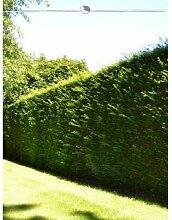 Gemeine Eibe Taxus baccata 180-200 cm, 12x Heckenpflanze, inkl. Versand