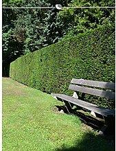 Gemeine Eibe Taxus baccata 180-200 cm. 25