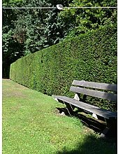 Gemeine Eibe Taxus baccata 180-200 cm. 50