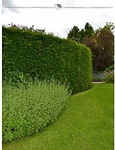 Gemeine Eibe Taxus baccata 200-225 cm. Angebot: