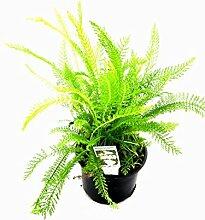 Gemeine Schafgarbe, Frische Kräuter Pflanze