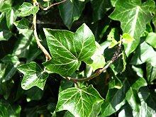 Gemeiner Efeu - Hedera helix - Kletterpflanze Bodendecker - 15-25cm Topf Ø 11cm (100)