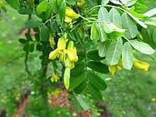 Gemeiner Erbsenstrauch Caragana arborescens