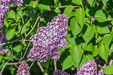 Gemeiner Flieder Syringa vulgaris Pflanze 35-40cm