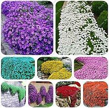 Gemischt: 200 Creeping Thymian Samen Blumensamen