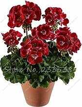 Gemischt: Geranie Samen Bonsai Blumensamen
