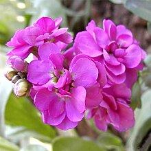 Gemischte Farbe Violett (Rot, Grün, Lila) Garten Pflanzen Samen Matthiola Incana Blumen einjähriges Kraut Seed 100 Partikel / lo