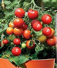Gemüse Red Cherry-Tomaten-Samen Lapochka Organisch gewachsen Erbstück NON-GMO