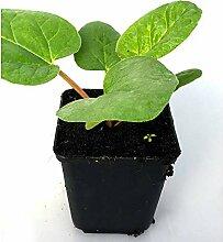 Gemüsepflanze - Roter Rhabarber / Rheum