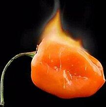 Gemüsesamen Habanero orange Paprika-Pfeffer-Pflanze - 100 Stück Samen- extrem heiß