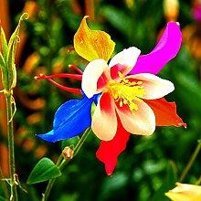 Gemüsesamen50Pcs/Bag Columbine Samen Aromatische